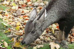 Siberian musk deer eating leaves Royalty Free Stock Image