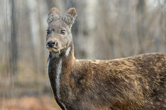 Siberian Musk Deer Hoofed Animal Rare Pair Royalty Free Stock Photo