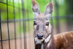 Siberian musk deer in a zoo Royalty Free Stock Photos