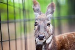 Siberian musk deer in a zoo Royalty Free Stock Photos