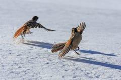 Siberian nötskrika i mars Arkivfoto