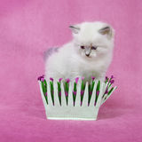 Siberian neva masquarade colorpoint kitten Royalty Free Stock Photography
