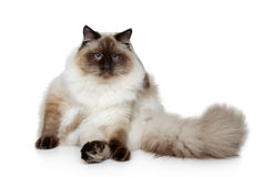 Siberian neva masquerade cat Stock Images