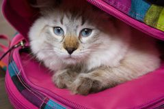 Siberian Neva Masquerade cat. With beautiful blue eyes sitting in a school backpack. Concept Back to School Royalty Free Stock Image
