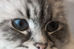 Siberian Neva Masquerade Close Up Cat Face. In focus one very deep blue eye Royalty Free Stock Photo