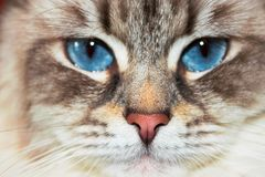 Siberian Neva Masquerade Close Up Cat Face. Siberian Neva Masquerade close pp cat face. Main focus on nose. Cat deep blue eyes blurry and goes in second plan Stock Images