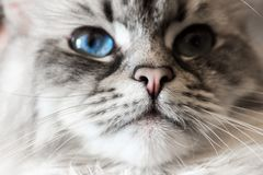 Siberian Neva Masquerade Close Up Cat Face. Main focus on nose. Cat deep blue eye blurry, noisy and goes in second plan Royalty Free Stock Photos