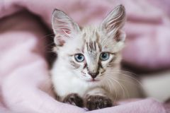 SIberian Neva Masquerade kitten with beautiful blue eyes. Closeup portrait of cute kitten with gray hair.  royalty free stock images
