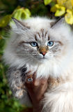 Siberian nevsky cat Stock Images
