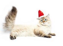 Siberian nevsky mask cat Stock Image