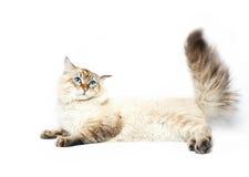 Siberian nevsky mask cat Royalty Free Stock Photo