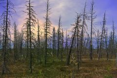 Siberian, northern bog Stock Image