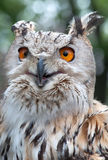 Siberian Owl Royalty Free Stock Images