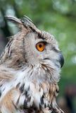 Siberian Owl-1 Stock Photos