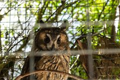 Siberian owl sitting in a cage stock images