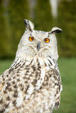 Siberian owl staring at camera. Royalty Free Stock Image
