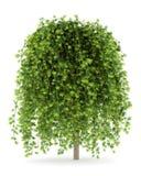 Siberian peashrub isolated on white Royalty Free Stock Photos