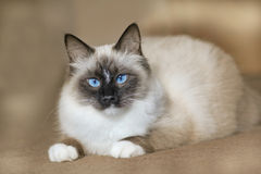 Siberian pedigree cat with blue eyes Stock Photo