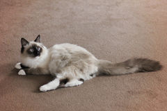 Siberian pedigree cat full length Stock Image