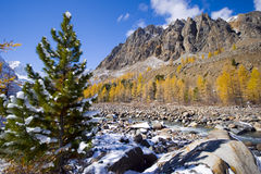Siberian pine Stock Photo