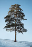 The Siberian pine Stock Images