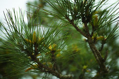 Siberian pine branches Royalty Free Stock Images
