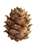Siberian pine cone Royalty Free Stock Photography