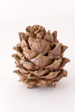 Siberian pine cone. Isolated on white Stock Photography