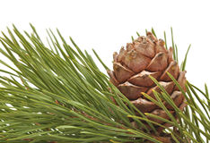 Siberian pine cone with branch Royalty Free Stock Photos
