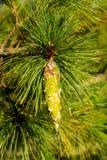 Siberian pine Royalty Free Stock Image