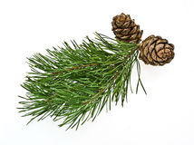 Siberian Pine Cone With Branch Royalty Free Stock Images