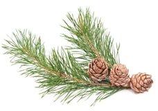 Siberian pine cones Royalty Free Stock Image