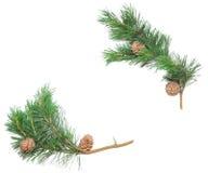 Siberian pine cones Stock Images