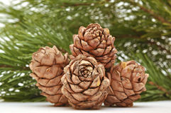 Siberian pine cones with branch Royalty Free Stock Photos