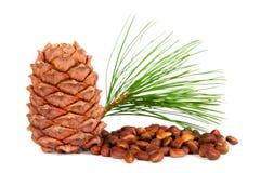 Siberian pine cones Royalty Free Stock Photo