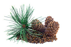 Siberian pine cones and nutlets Royalty Free Stock Image