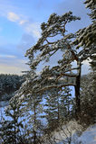 Siberian pine is on the edge of a mountain. The winter landscape. Siberian pine without the tops grew at the edge of the mountain. The winter landscape stock image