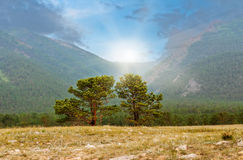 Siberian pine in field Stock Photo