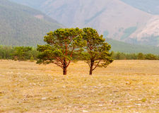 Siberian pine in field Royalty Free Stock Photography