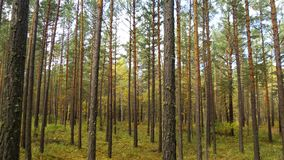 Siberian pine forest in autumn day royalty free stock photography
