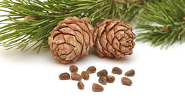 Siberian pine nuts and needles branch Royalty Free Stock Photos