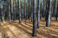 Siberian Pine Tree Forest Stock Photography