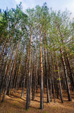 Siberian Pine Tree Forest Stock Images