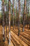 Siberian Pine Tree Forest Stock Photo
