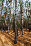 Siberian Pine Tree Forest Royalty Free Stock Photography
