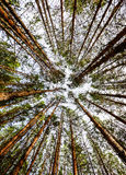 Siberian Pine Tree Forest Royalty Free Stock Photo