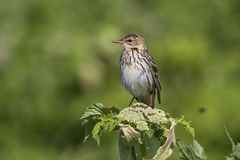 Siberian Pipit that sits on a cow parsnip summer sunny Stock Image