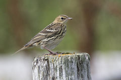 Siberian Pipit sitting on a wooden post summer Royalty Free Stock Photos