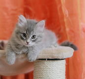 Siberian puppy on the scratchin post Stock Image