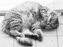 Tender cat face in sleeping time, silver siberian purebred. Siberian purebred cat, silver female hypoallergenic stock images